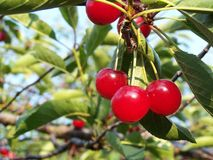 Sour cherries. Bunch of sour cherries hanging in tree stock photography