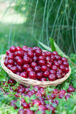 Sour cherries in basket Stock Image