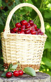 Sour cherries in basket Royalty Free Stock Photography