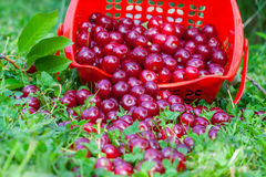 Sour cherries in basket Stock Photography