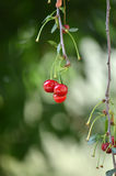 Sour cherries on the branch. Stock Photo