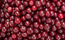 Sour Cherries. Freshly harvested and washed organic red sour cherries Royalty Free Stock Images