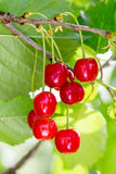 Sour cherries growing on the sour cherry tree Royalty Free Stock Photo