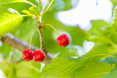 Sour cherries growing on the sour cherry tree Stock Photography