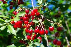 Sour cherries Stock Image