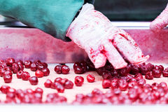 Sour cherries in processing machines Royalty Free Stock Images