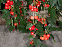 Sour cherries (Prunus cerasus) royalty free stock photography