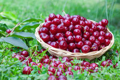 Sour cherries in summer time Stock Photos