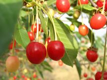 Sour cherries on tree Stock Photo