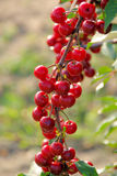 Sour cherry Stock Photography
