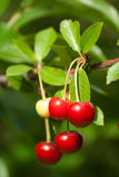 Sour cherry. On the tree Stock Photo