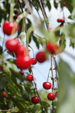 Sour cherry Royalty Free Stock Image
