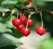 Sour cherry. Some sour cherry on a tree royalty free stock images