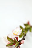 Sour cherry blossom Stock Images