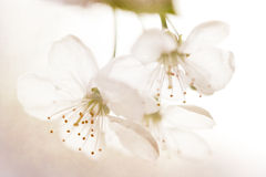 Sour cherry blossom macro Stock Photo