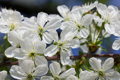 Sour cherry blossom Royalty Free Stock Images