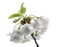 Sour cherry blossoms. Isolated branch with sour cherry blossoms Stock Photography