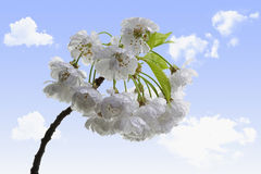 Sour cherry blossoms. With sky and clouds background Stock Photo