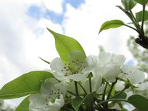 Spring sour cherry blossoms stock image