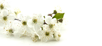 Sour cherry flower isolated. In white Stock Photos