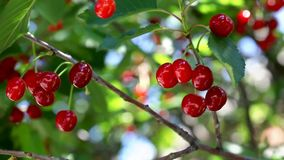 Sour cherry fruit plant Royalty Free Stock Photo