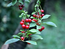 Sour cherry fruit twig royalty free stock photography