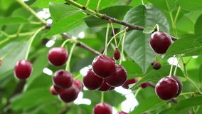 Sour cherry fruits in windy weather stock video footage
