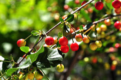 Sour cherry plant. Colorful ripened sour cherries on plant Royalty Free Stock Image