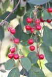 Sour cherry    (Prunus cerasus) Royalty Free Stock Image