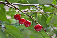 Sour cherry on a tree Royalty Free Stock Photography