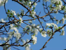 Sour Cherry Tree. Blooming cherry tree stock images
