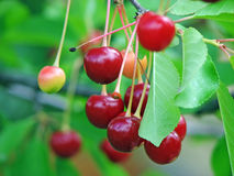 Sour cherry tree Royalty Free Stock Photography
