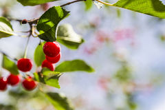 Sour Cherry Tree Closeup Stock Images