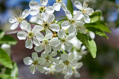 Sour cherry tree flowers in spring Royalty Free Stock Images