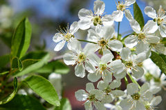 Sour cherry tree flowers in spring Royalty Free Stock Photos