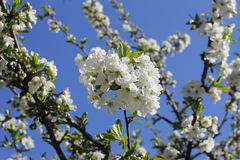 Sour cherry tree flowers in spring. A close view of some white sour cherry tree flowers heralding the spring Royalty Free Stock Image
