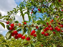 Sour Cherry Tree. In the garden stock image