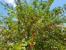 Sour Cherry Tree. In the garden royalty free stock images