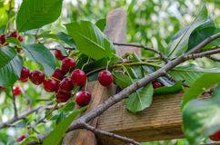 Sour cherry tree stock photography