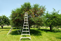 Sour Cherry Tree in the Orchard Stock Image