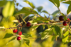 Sour cherry on a tree in the orchard Royalty Free Stock Photography