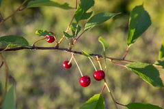 Sour cherry on a tree in the orchard Stock Image