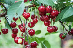 Sour cherry tree Royalty Free Stock Images