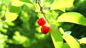 A Sour Cherry  Twig In Tree In Morning Sun. Almost Transparent Sour Cherries  In Tree In Morning Sun stock video footage