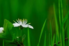 White flower with green background. This sour flower bloom in the green grass. Until he could notice it, he hid himself stock photo