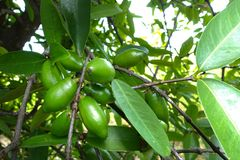 Sour Fruit, Garcinia Schomburgkiana Pierre,. Madan Royalty Free Stock Photo