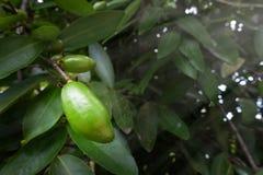 Sour Fruit, Garcinia Schomburgkiana Pierre,. Madan Stock Images