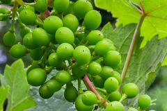 Sour grapes macro Stock Photography