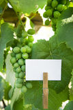 Sour grapes Royalty Free Stock Photography