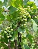 Sour grapes Stock Photos